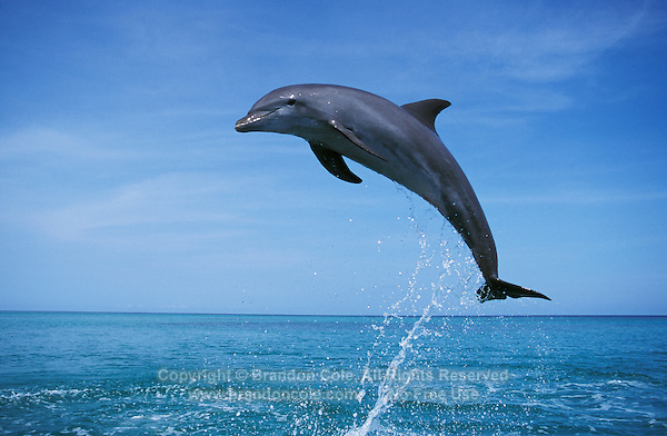 my702. Bottlenose Dolphin (Tursiops truncatus) jumping. Honduras, Caribbean Sea..Photo Copyright © Brandon Cole. All rights reserved worldwide.  www.brandoncole.com