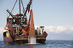 Puget Sound, marine research, Washington State Department of Fish and Wildlife, scientists trawl to monitor bottom fish populations over time in Puget Sound, Rosario Strait,
