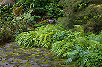 Hakonechloa macra 'Aureola' (Golden Japanese Forest Grass) along stone drive with Epimedium, Blechnum novae-zelandiae (Palm-leaf Fern), on rockery above - Athyrium vidalii (Japanese Lady Fern), Chamaecyparis obtusa 'Kosteri', Rhododendron stenopetalum 'Linearifolium' in Elisabeth Miller Botanical Garden