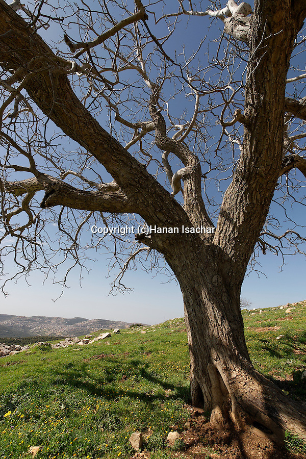 Israel, the Upper Galilee. Walnut tree on Mount Meron