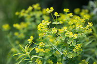 Leafy spurge is native to southeastern Europe. It escaped cultivation in the northeastern U.S. in 1829. There are currently more then 3 million acres infested with leafy spurge in the Greater Yellowstone Ecosystem.