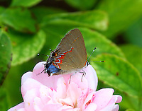 Red-banded hairstreak rubbing wings so that blue of upper side of hind wing shows
