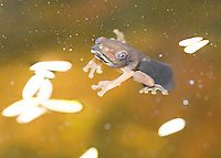 Tadpole of blue-sided treefrog or coffee frog, Agalychnis annae, an endangered species.  A small population has been established in the gardens of the Hotel Bougainvillea, San Jose, Costa Rica.
