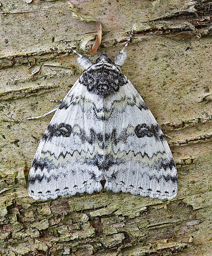 A beautiful White Underwing moth on a gray birch tree.