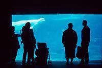 visitors watch beluga whales, Delphinapterus leucas, Vancouver Aquarium ( c ) Vancouver, British Columbia Canada