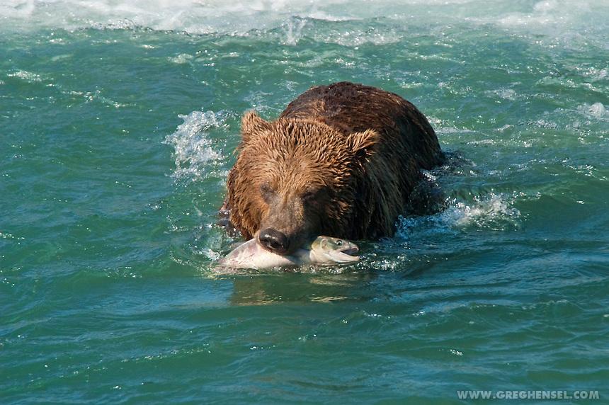 Brown Bear retreats to shore with salmon at McNeil River Falls, Alaska