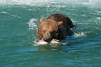 Brown Bear retreats to shore with salmon at McNeil River Falls, Alaska