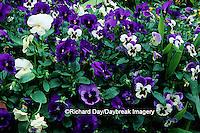 63821-07106 Pansies (Viola sp.)  Marion Co.  IL