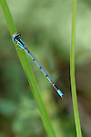 A Type of Bluet Damselfly, Enallagma, Resting On A Blade Of Grass