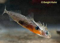 1S46-500z  Threespine Stickleback, male chasing gravid female from nesting site, Gasterosteus aculeatus