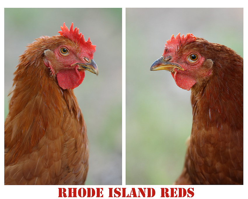 "The rich, reddish-black plumage and red comb of the ""Old-Type"" Rhode Island Red chicken is an iconic symbol of American agriculture."