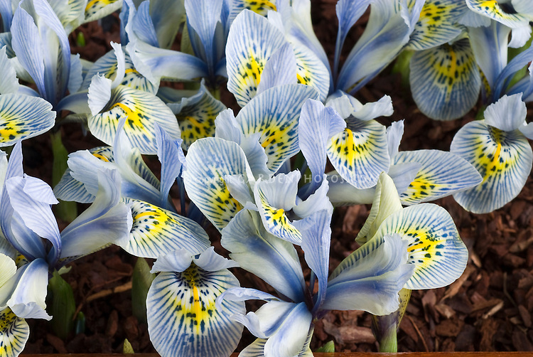 Iris 'Katherine Hodgkin' (reticulata ) AGM blue flowers heavily patterned with stripes, yellow markings, spring flowering bulbs