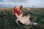 ATEKAL, TANZANIA - NOVEMBER 15: A Maasai man tries to rescue a dying cow on November 15, 2009 in their village in Atekal, Tanzania. The village has lost about 300 cattle in recent months. This area has been severely affected by drought the last two years and as many as 3-4000 cattle has died in recent months. The Maasai tribe populates the area and many of them has given up on farming and traveled to cities such as Arusha to look for work. Indigenous peoples globally, such as the Maasai in Tanzania and Kenya, are disproportionately affected by the impacts of climate change due to fragile and harsh ecosystems. (Photo by Per-Anders Pettersson)....