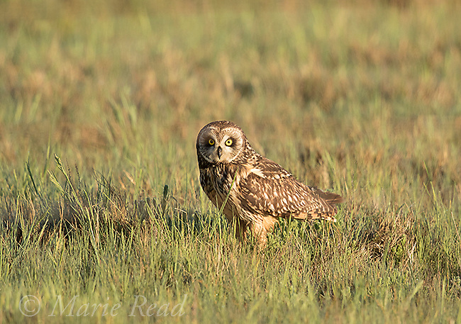 Short-eared Owl (Asio flammeus), adult female perched in grass on ground, northern Utah, USA