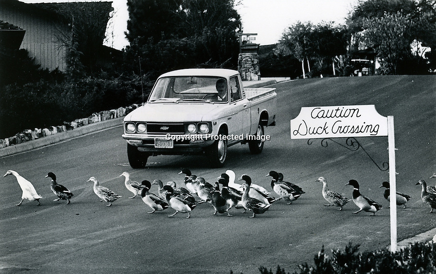 Motorists has to wait for a flock of ducks to cross Round Hill Dr. in Alamo, Ca (1978 photo by Ron Riesterer)