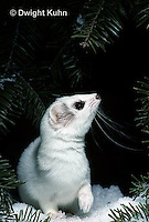 MA28-127z  Short-Tailed Weasel - ermine exploring forest for prey in winter - Mustela erminea