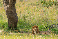 A male Lion, Panthera leo  melanochaita, rests in the shade of a tree in Maasai Mara National Reserve, Kenya