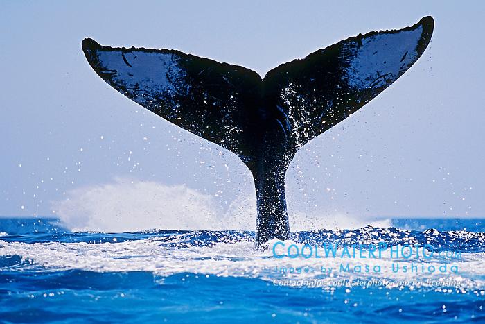 Humpback Whale, double lobtailing, Megaptera novaeangliae, Hawaii, Pacific Ocean.
