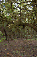 Moss covered tree prehistoric forest in the Parque nacional de Garajonay, Unesco world heritage site. La Gomera, Canary Islands.