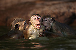 In a pool hidden above the Gal Vihara statues these toque macaque monkeys are playing. Swimming and play fighting in the water offers a respite from the heat of the day. Archaeological reserve, Polonnaruwa, Sri Lanka.