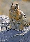Golden-Mantled Ground Squirrel; (Spermophilus saturatus), Cascade Mountains, Washington