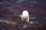Polar bear (Ursus maritimus) - Hudson bay, snowing