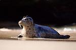USA; California; La Jolla; San Diego; A seal on a beach along the Pacific Coast