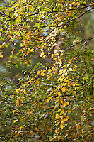 Sunlight through autumn leaves on Silver Birch at Abernethy Forest National Nature Reserve, Loch Garten, Cairngorms National Park, Scotland, Uk