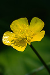 Creeping Buttercup (Ranunculus Repens), Coast mountain range, Oregon