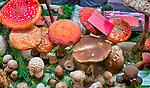 Święto Rydza w Wysowej-Zdroju (woj. małopolskie) 2019-09-28. To impreza dla grzybiarzy, miłośników dobrego jedzenia i karpackiego rękodzieła, pasjonatów przyrody i fanów beskidzkich zakątków. Namiot w którym prezentowano grzyby występujące w okolicznych lasach. PAP/Jerzy Ochoński