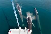 fin whale, Balaenoptera physalus, bow-riding a catamran, Baja California, Mexico, Gulf of California, aka Sea of Cortez, Pacific Ocean