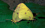Clouded Yellow butterfly (Colias croceus) pair of butterflies mating, female, male