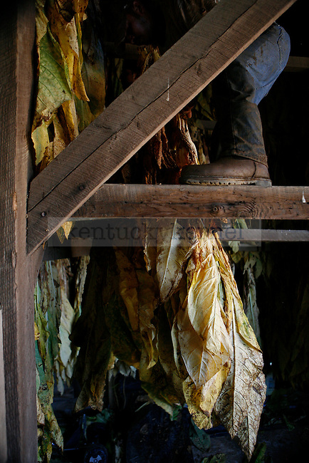 Tobacco at G.B. Shell Farm in Lancaster, Ky. on Nov. 14, 2009.