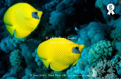 Two masked butterfly fish (Chaetodon semilarvatus) (Licence this image exclusively with Getty: http://www.gettyimages.com/detail/76313999 )