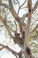 A koala rests with her joey (feet visible in the photograph) at Belair National Park, Adelaide, South Australia.