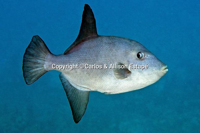 Canthidermis sufflamen, Ocean triggerfish, Florida Keys