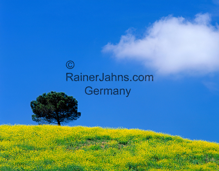 Italy, Tuscany, field of rape, a single tree and one white cloud