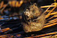 Nutria, Myocaster coypus, adult scratching, Port Aransas, Texas, USA, March 2003