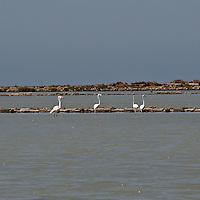 Fenicotteri rosa nelle saline di Marsala...Pink flamingos in the salines of Marsala.