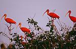 Scarlet Ibis, Venezuela