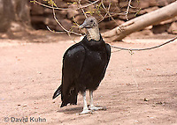 0709-1101  Black Vulture, Coragyps atratus  © David Kuhn/Dwight Kuhn Photography