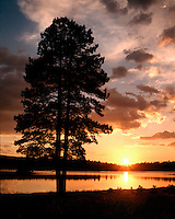 Ponderosa Pine tree silhouetted at sunset along Hawley Lake; Apache-Sitgreaves National Forest, AZ