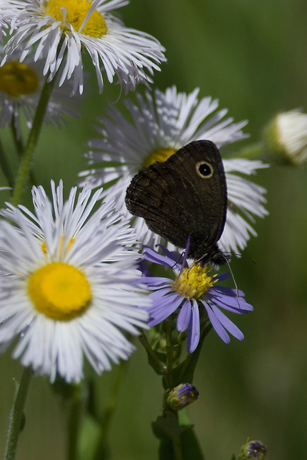 butterfly, Small Wood-Nymph, Cercyonis oetus, nature, foliage, insect, Cow Creek watershed, Rocky Mountain National Park, summer, Rocky Mountains, Colorado, USA