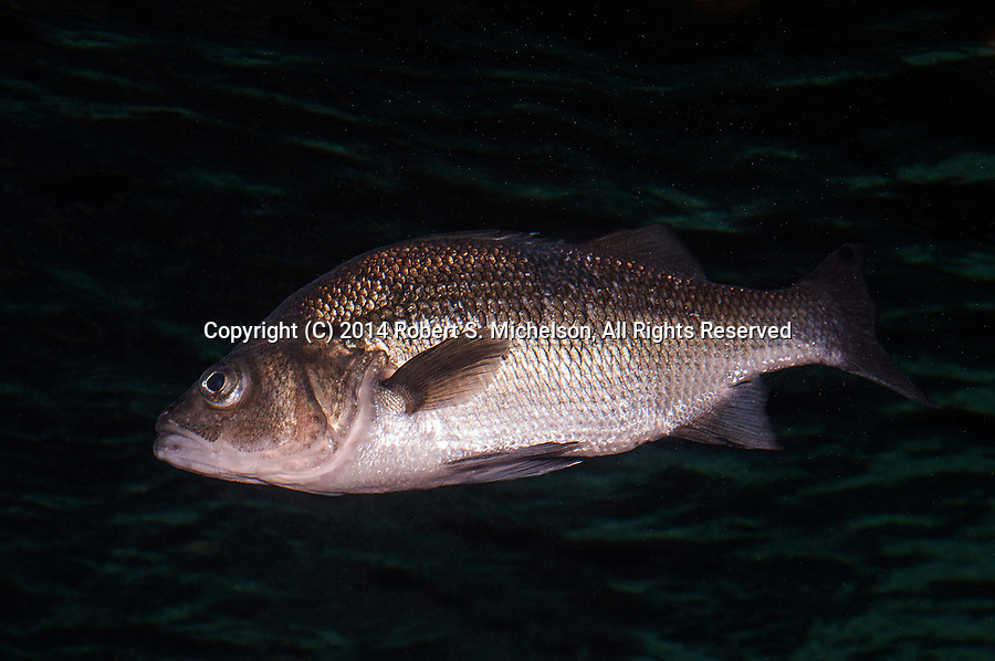 White Bass swimming left