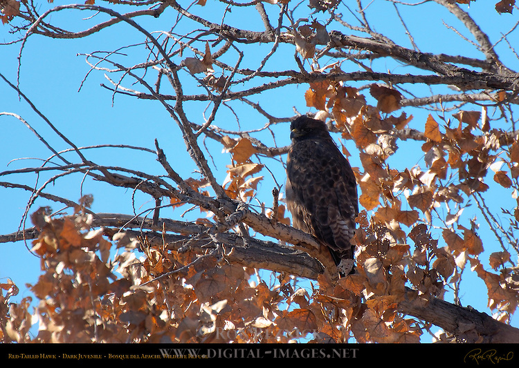Dark Morph Red-tailed Hawk Juvenile, Bosque del Apache Wildlife Refuge, New Mexico