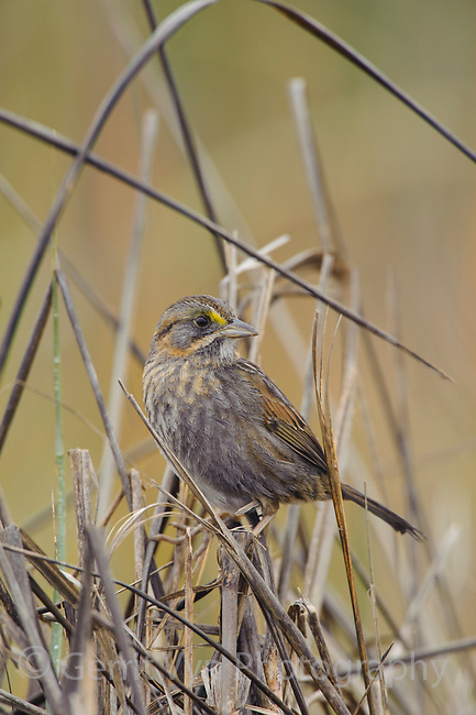 Seaside Sparrow (Ammodramus maritimus). Cameron Parrish, Louisiana. December.