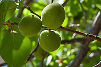 Three green apricots, Prunus armeniaca, ripening on the tree, Loveland Colorado, USA