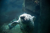USA, Alaska, Seward, a harbor seal inside of the Alaska SeaLife Center
