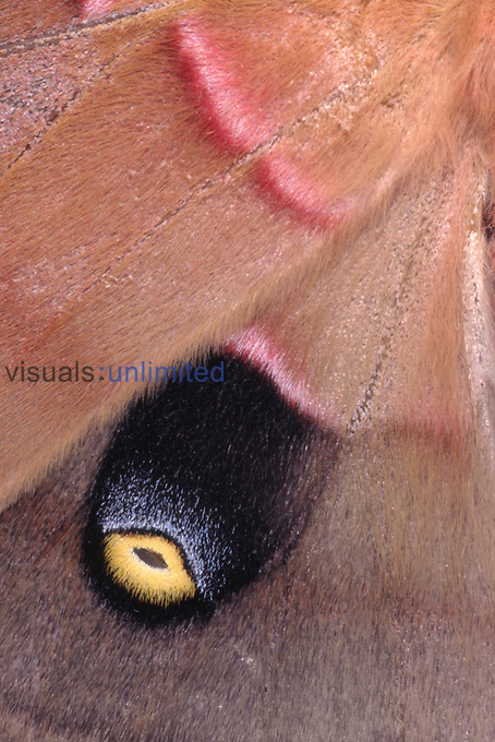 Close up of the wing of a Polyphemus Moth (Antheraea polyphemus) showing scales and defensive eye-spot marking.