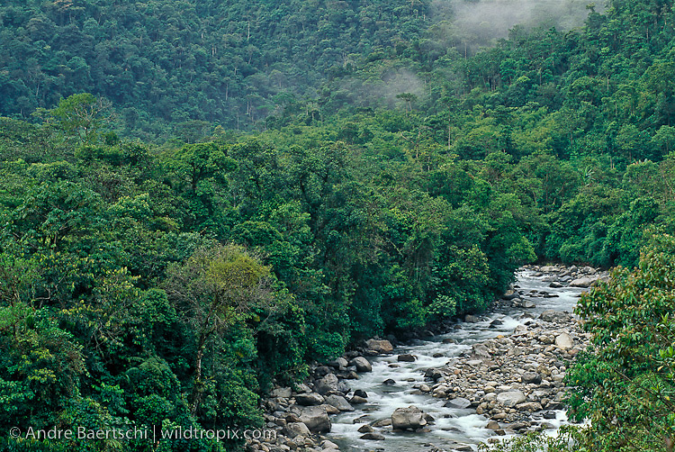 Montane rainforest or cloud forest along the Rio Koshnipata, Andean foothills, Manu Biosphere Reserve, Cusco, Peru.